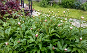 Earlier this week: The anticipation and promise from this multitude of buds on an ancient peony.