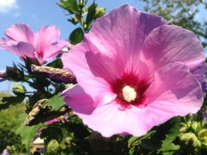 Our Rose of Sharon shrubs are particularly beautiful this year. The name belies the fact that the flower is from the hibiscus family -- although some people do refer to it as a Chinese hibiscus.