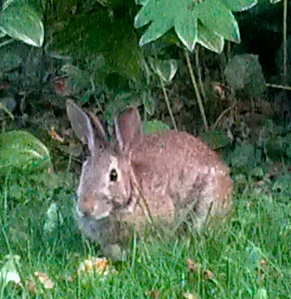 Garden Bunny enjoys a quiet moment under the Solomon's Seal.